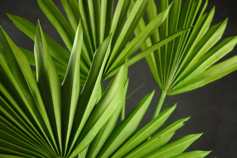 Natural Palm Leaf Fans Leaves | Pack of 5