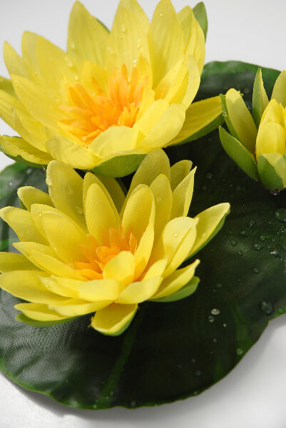 yellow water lily flower - photo #31