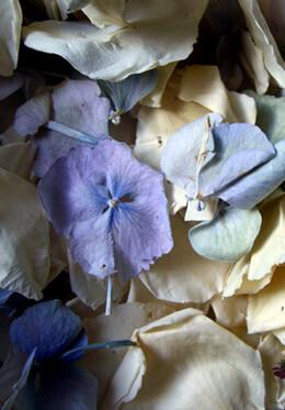 Ivory, Blue & Green Hydrangea Petals Freeze Dried - 5 cups