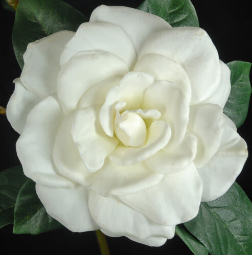 Gardenias - Silk, Sola and Preserved