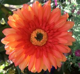 Gerbera Daisies Silk Orange (bundle of 12 flowers)
