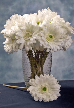 24 Cream White Gerbera Daisy Flowers 9""