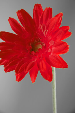 24 Red Gerbera Daisy Flowers