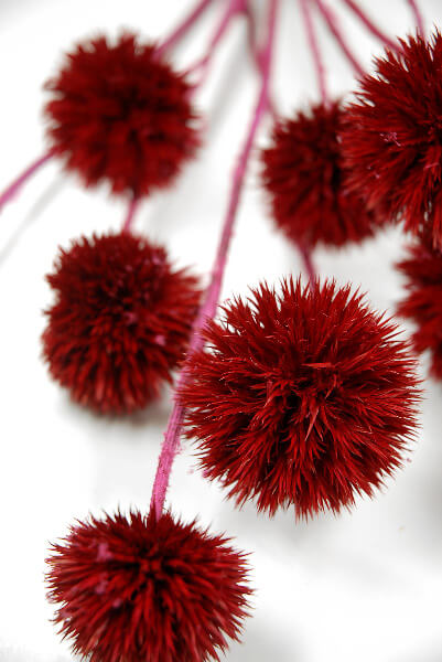 Giant Thistles Burgundy Red Natural ( 9-12 thistles/bunch)