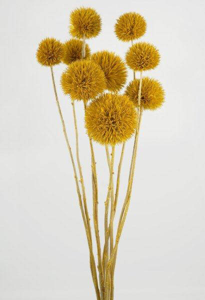 Preserved Aspen Yellow Thistle Stems (Pack of 10)