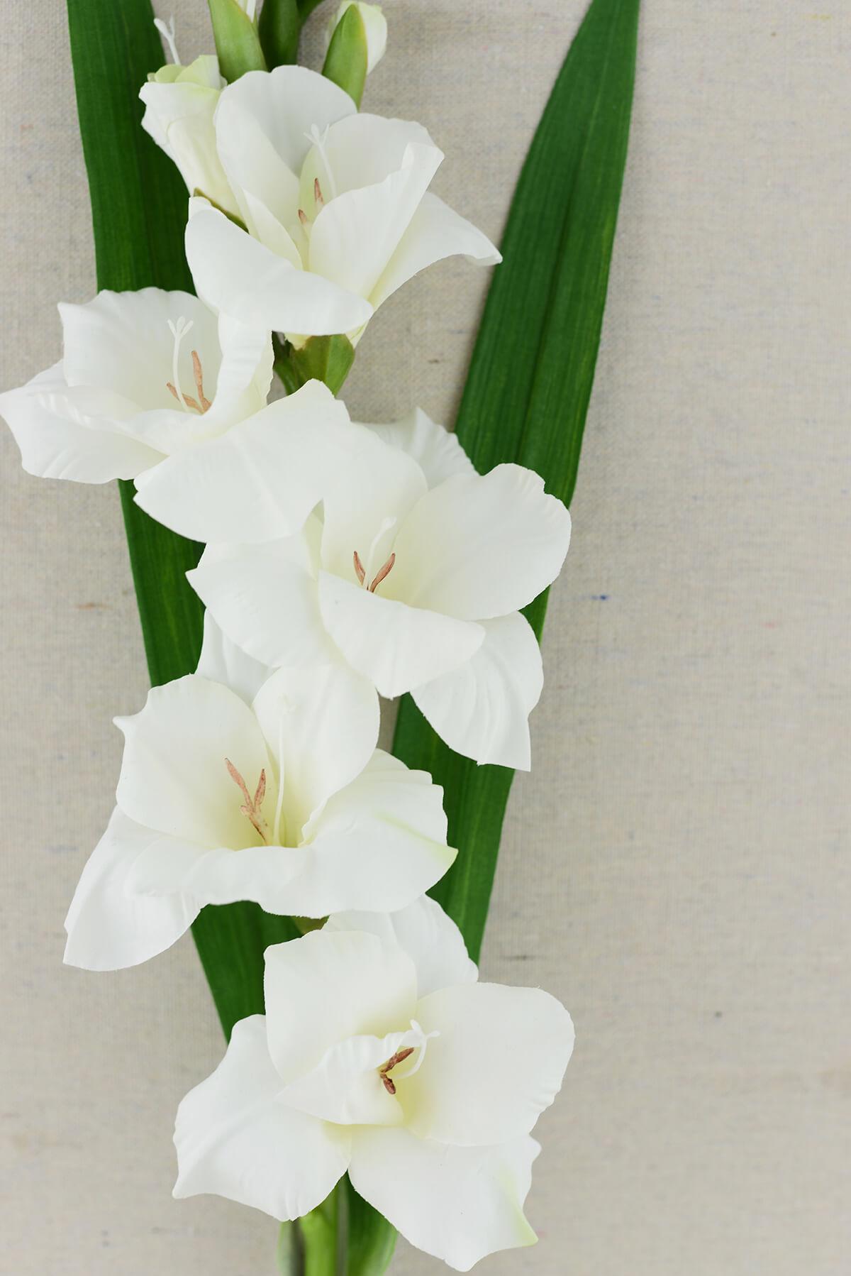 Gladiolus flower cream in