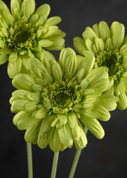 Silk Gerbera Daisy Bouquet Green (12 flowers)