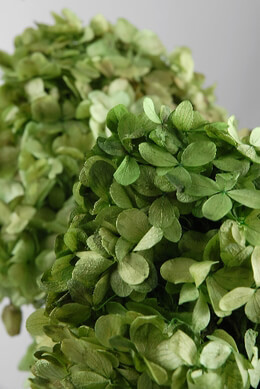 Preserved Hydrangeas Green 7in | 3 Stems