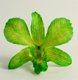 30 Green & Yellow Preserved Orchid Flowers