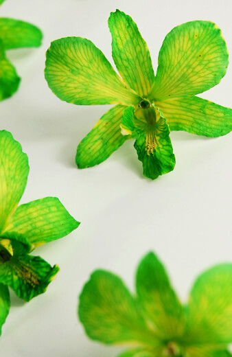 30 Green Preserved Orchid Flowers