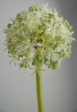 "Green & White Allium Spray (31"" Tall ) 3"" flower"