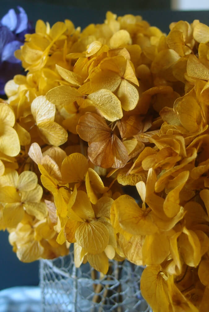 Preserved Mango Yellow Hydrangea Flowers