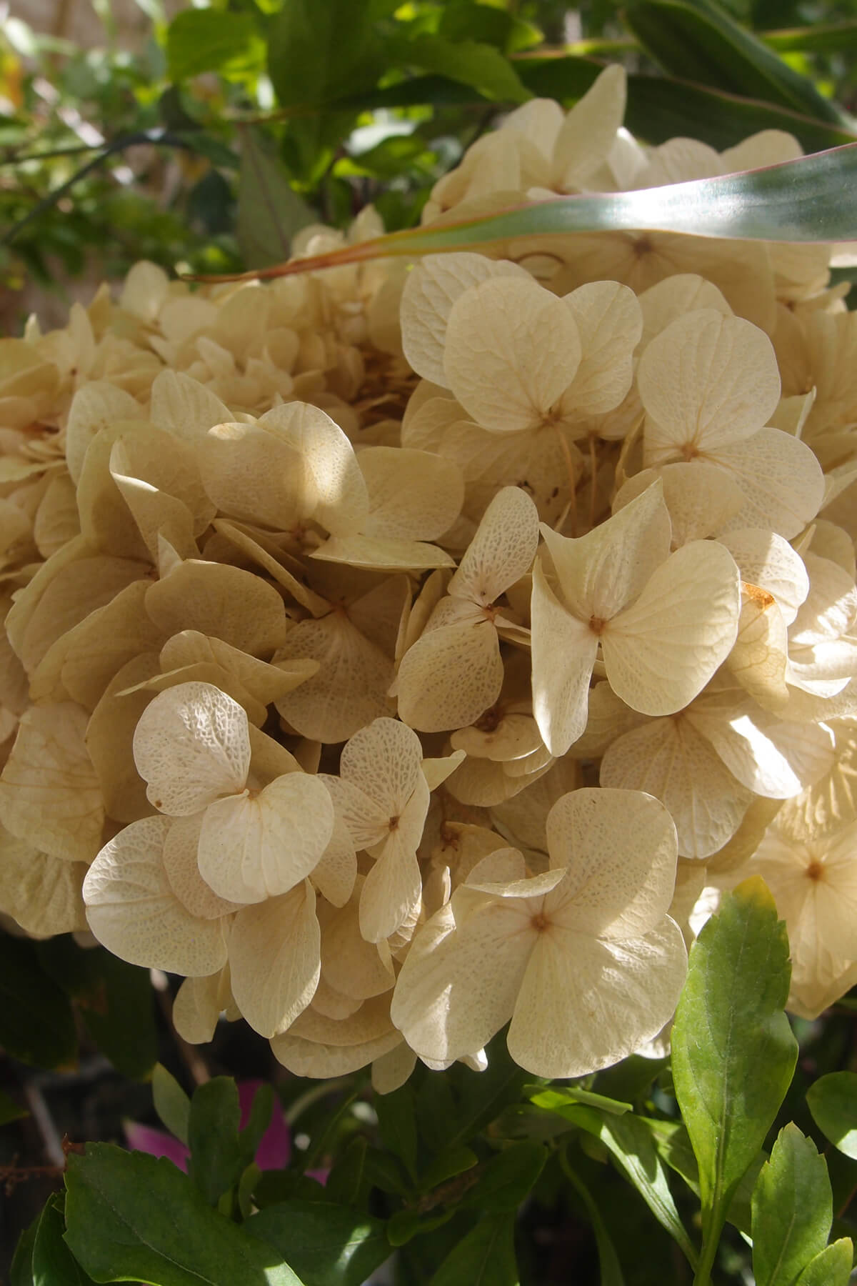 Preserved Pale Yellow Hydrangea Flowers 2 oz.