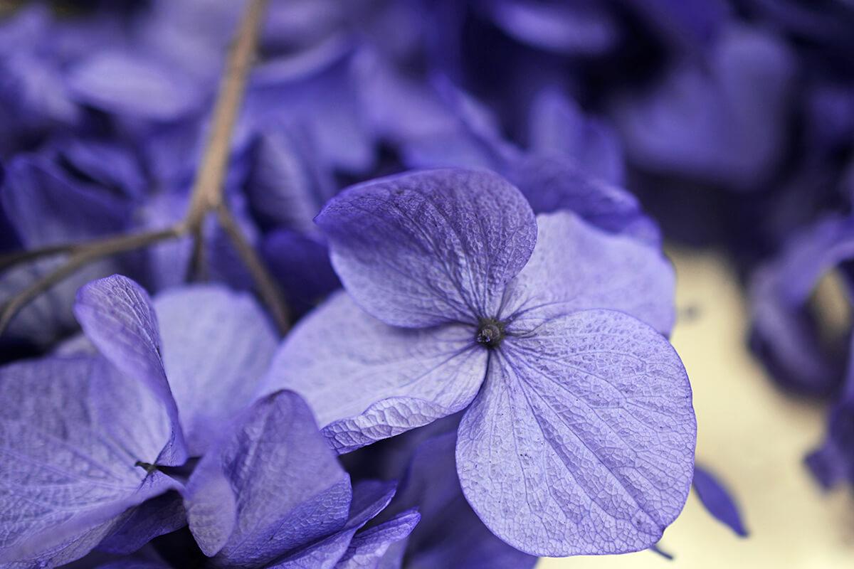 Preserved Purple Hydrangea Flowers 2 oz., Potpourri