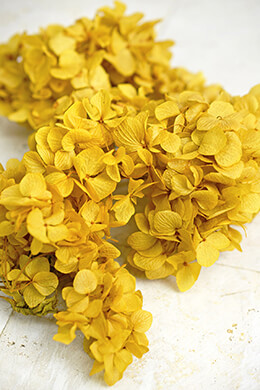 Preserved Bright Yellow Hydrangea Flowers