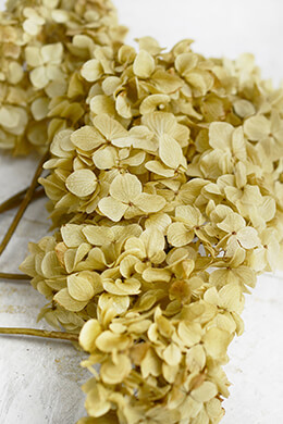 Preserved Natural Light Yellow Hydrangea