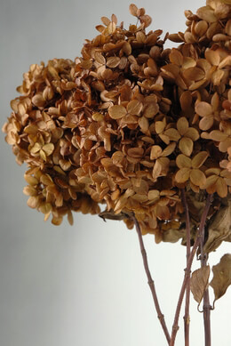 Hydrangeas Preserved Brown Flowers ( 3 stems)