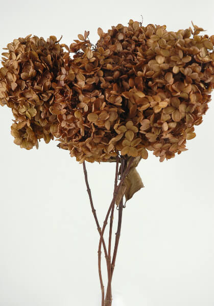 3 Stems of Natural Preserved Brown Hydrangeas Flowers