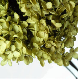 Hydrangeas Preserved Green Flowers (4-5 stems)