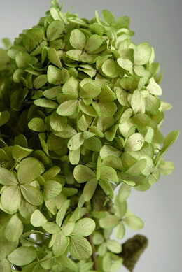 Hydrangeas Preserved Spring Green Flowers (3 stems)