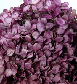 Preserved Hydrangeas Purple (4-5 Flowers)