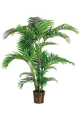 Kentia Palm Tree 5ft