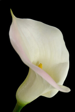 Real Touch White with Pink Blush Calla Lily Flower 33in