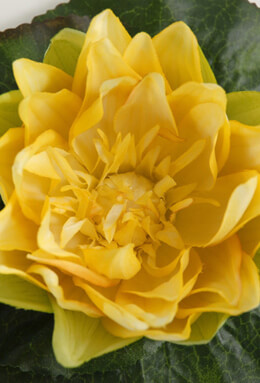 Yellow Silk Floating Water Lily