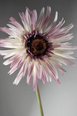 Lavender Gerbera Daisies (12 flowers)