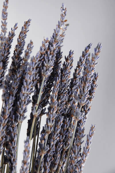 French Lavender Bouquet 120 stems Air Dried Pesticide Free