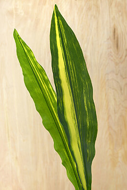 "Green Aspidistra Leaves, Two Leaves, 25-1/2"" , Silk Ti Leaves"