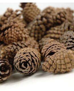 Pine Cones | 3 quarts