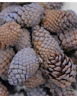 Pine Cones Lavender|3 quarts