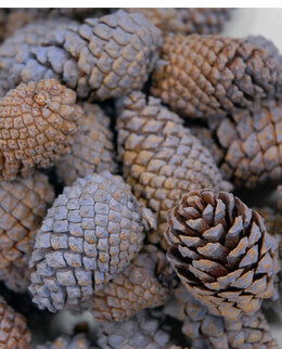 Lodgepole Pine Cones Lavender (3 quarts/pkg)