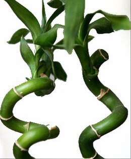 Lucky Bamboo Natural Touch 27""