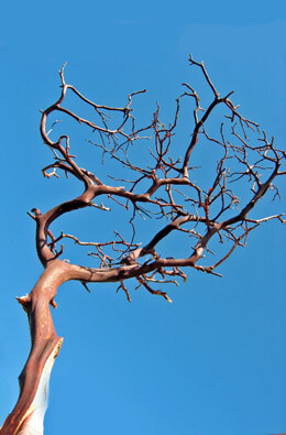 Manzanita Branches Red Bark 16-18in