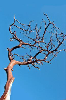 Manzanita Branches Red Bark 16-18in