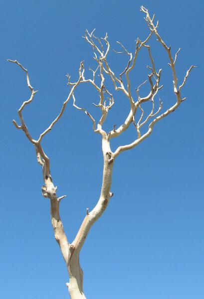 Manzanita Branches |Sanded Sierra Natural Manzanita 18-26in