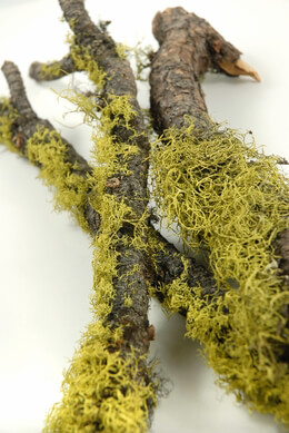 "Moss and Wolf Lichen Branch 17""-19"""