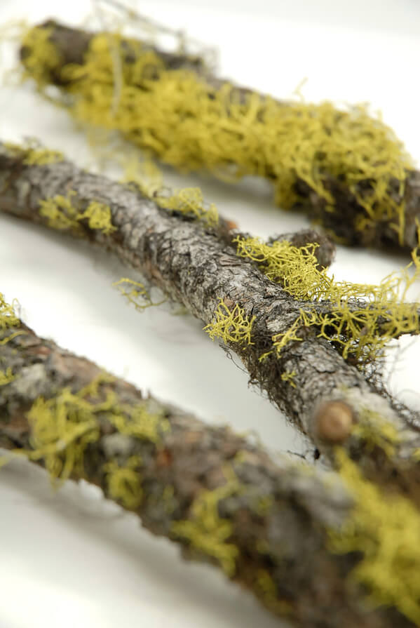 Moss Covered Naural  Branch 12in