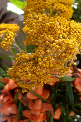 Dried Yellow Natural Yarrow 12 stems