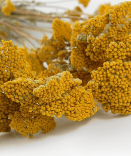 Dried Yarrow Yellow | 12 stems