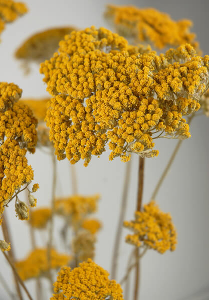 Yellow Natural Yarrow 12 stems