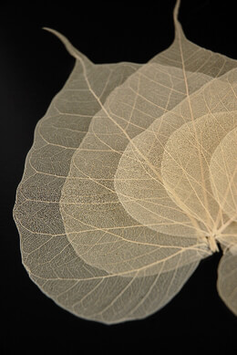 "Natural 4""- 5.5"" Bodhi Tree Skeleton Transparent Leaves (10 leaves pkg)"
