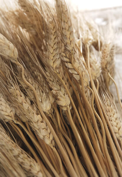 Triticum Wheat Natural 34 Inch