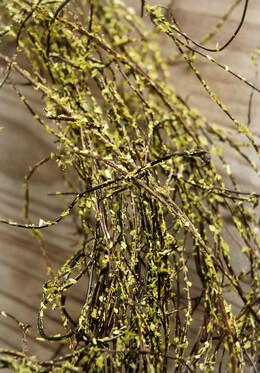 Natural Preserved Angel Vine Moss Coated 8 ounce bag