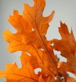 "Natural Preserved Fall Leaves 24"" Branches (4-6 branches/ bundle) Orange Black Oak"