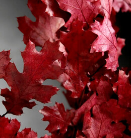 "Natural Preserved Fall Leaves Red Black Oak 24"" (4-6 Branches)"