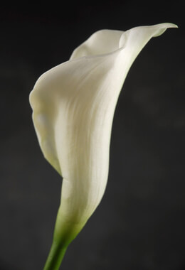Artificial Calla Lily Cream 25in