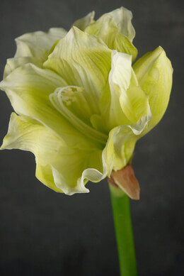 Artificial Amaryllis Green
